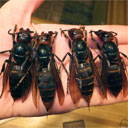 Asian Giant Hornets Kill 41 People in China