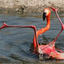The Flamingo's the Word