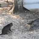 Cat vs. Alligators
