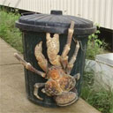 Giant Coconut Crab