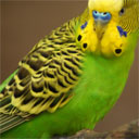 Incredibly Talkative Parakeet