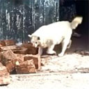 Dog Helps Carry Firewood