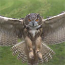 Owl Swooping in Slow Motion