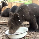Feeding Bear Cubs