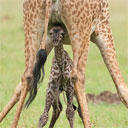 Giraffe Giving Birth