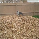 Husky Playing in Leaves