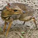The Lesser Mouse-Deer