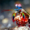 Mantis Shrimp Power Punch