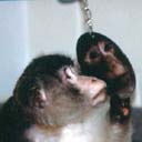 A Monkey Meets His Reflection