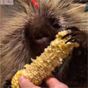Porcupine Gets Delicious Christmas Present