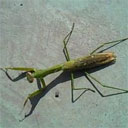 Praying Mantis Worm Parasite