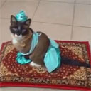 Princess Jasmine Roomba Riding Cat