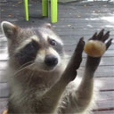 Raccoon Uses Rock to Knock on Window