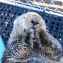 Sea Otter Munches on Clams