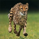 National Geographic Slow Motion Cheetah