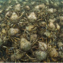 Spider Crab Army