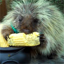 Talking Porcupine
