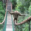 Tightrope Walking Monkey