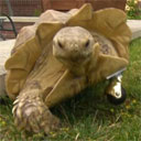Tortoise used Wheel Leg! It's not very effective…