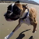 Two-Legged Dog Goes to the Beach