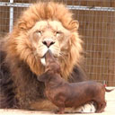 Dog Cleans Lion's Teeth