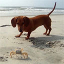 Dachshund vs. Ghost Crab