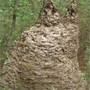 Angry Yellow Jacket Nest